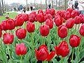 Keukenhof tulip 02.jpg