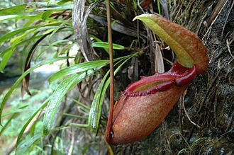 The Private Life of Plants - A lower pitcher of N. rajah