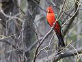 King parrot 2 (17163185678).jpg