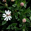 Klippen-Leimkraut (Silene uniflora) 5776.JPG