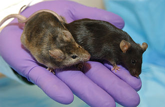 Knockout mouse - A laboratory mouse in which a gene affecting hair growth has been knocked out (left), is shown next to a normal lab mouse.