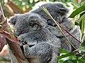 Koalas at Currumbin Wildlife Sanctuary - Currumbin - Queensland - Australia - 01 (35782200801).jpg