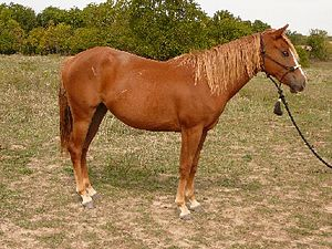 "Sorrel (horse) - A Quarter Horse registered as ""sorrel"""
