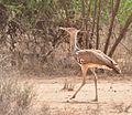 Kori Bustard, Omo Valley, Ethiopia (15314204456).jpg