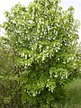 Korina 2012-05-15 Staphylea pinnata 1.jpg