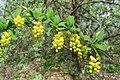 Korina 2013-05-14 Berberis vulgaris.jpg