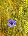 Kornblume in einem Weizenfeld.jpg