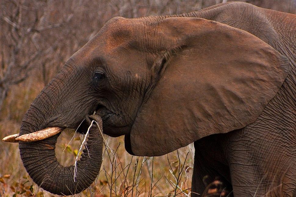 Kruger Park Elephant 1