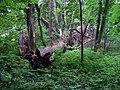 Kuří, park západně od vsi, spadlý strom (01).jpg