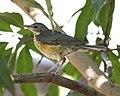 Kurrichane Thrush (Turdus libonyanus) (22439022825).jpg