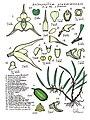 LR008 72dpi Bulbophyllum grandimesense.jpg
