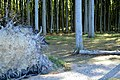 LSG Kühlung - Nienhäger Holz (Gespensterwald) (127).jpg