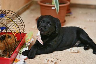 Dog behavior - Dog playing with a guinea pig.
