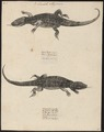 Lacerta stirpium - 1700-1880 - Print - Iconographia Zoologica - Special Collections University of Amsterdam - UBA01 IZ12400059.tif
