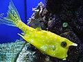 Lactoria cornuta.002 - Aquarium Finisterrae.JPG