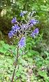 Lactuca alpina in Morzine (4).jpg