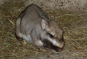 Lagostomus maximus, Plains Viscacha.jpg