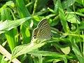 Lampides boeticus - Pea Blue at Aralam Wildlife sanctuary during Aralam butterfly survey 2020 (16).jpg