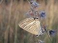 Lampides boeticus 00.jpg