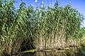 Langa- meldru audze krastā - panoramio.jpg