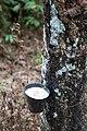 Langkawi Malaysia Rubber-trees-02.jpg