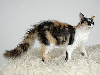 LaPerm Breed of cat