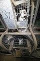 Lapins reproducteurs en cages, élevage intensif d'Augan (56) - 2020 01.jpg