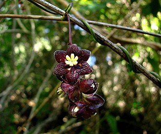 Lardizabala - Flowers of Lardizabala biternata