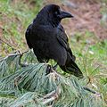 Large-billed Crow (14551209446).jpg