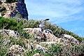 Larus cachinnans michahellis - Dragonera.jpg