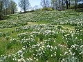 Laurel Ridge Foundation Narcissus Plantings - IMG 6392.JPG