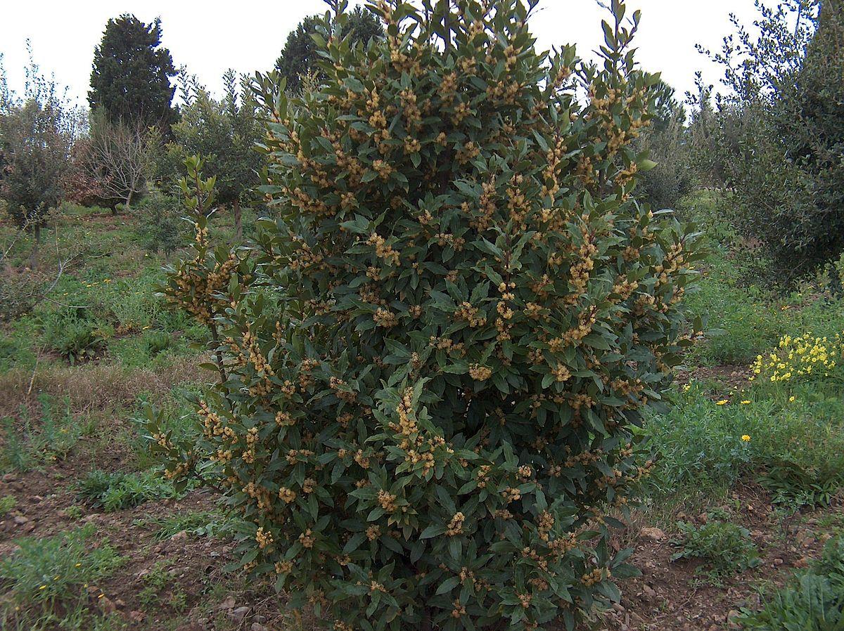 Laurus nobilis wikipedia for Pianta di alloro