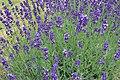 Lavandula angustifolia (13).jpg