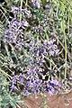 Lavandula angustifolia Hidcote 2zz.jpg