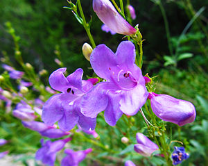 Some lavender colored wildflowers growing near...