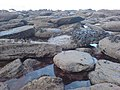Laver covered rocks - geograph.org.uk - 1114490.jpg