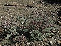 Layne milkvetch, Astragalus layneae (44370025310).jpg