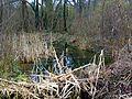 Le Plessis-Luzarches (95), bois humide (zone protégée).jpg