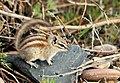 Least Chipmunk Seedskadee NWR (18464180452).jpg