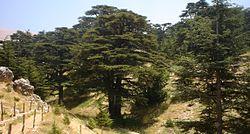 Lebanon cedar forest.jpg