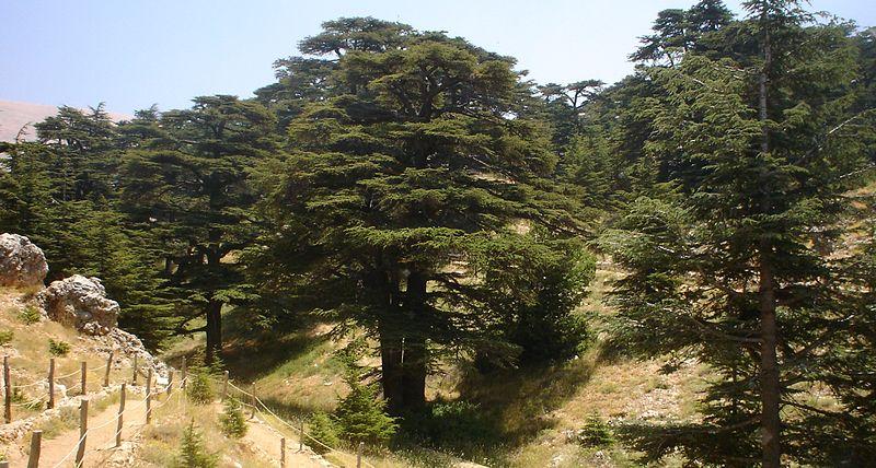 복음-하나님의 모든 것 레바논 백향목