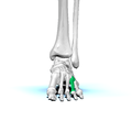 Left Fourth metatarsal bone01 anterior view.png