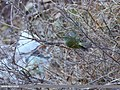 Lemon-rumped Warbler (Phylloscopus chloronotus) (44775959520).jpg