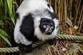 Lemur (25990563067).jpg