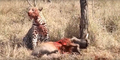 Leopard eats alive Warthog ✰Amaizing Video HD 2.png