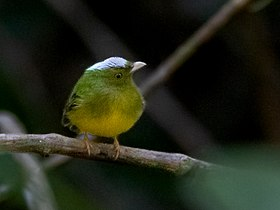 Lepidothrix iris - Opal-crowned Manakin (male); Carajas National Forest, Pará, Brazil.jpg