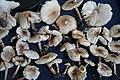 Lepiota lilacea Bres 429124.jpg