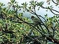 Leptasthenura pileata - Rusty-crowned Tit-Spinetail.jpg