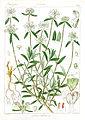 Leucas suffruticosa Govindoo.jpg