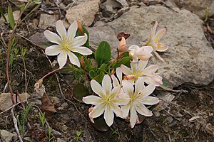Wenatchee Mountains - Lewisiopsis tweedyi on Tronsen Ridge, Wenatchee Mountains